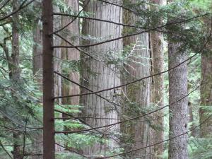 A Group of Majestic Cedars on Lake 22 Trail Near Tulalip, WA