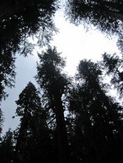 View to the crown of an old growth stand near Tulalip, WA