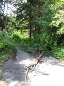 A dead willow tree blocks my driveway after a storm in Tulalip, June, 2014